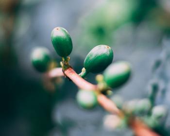 Pomáha zelená káva pri chudnutí?